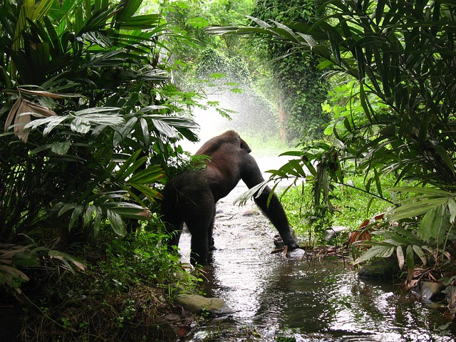 dove si possono vedere i gorilla in Congo